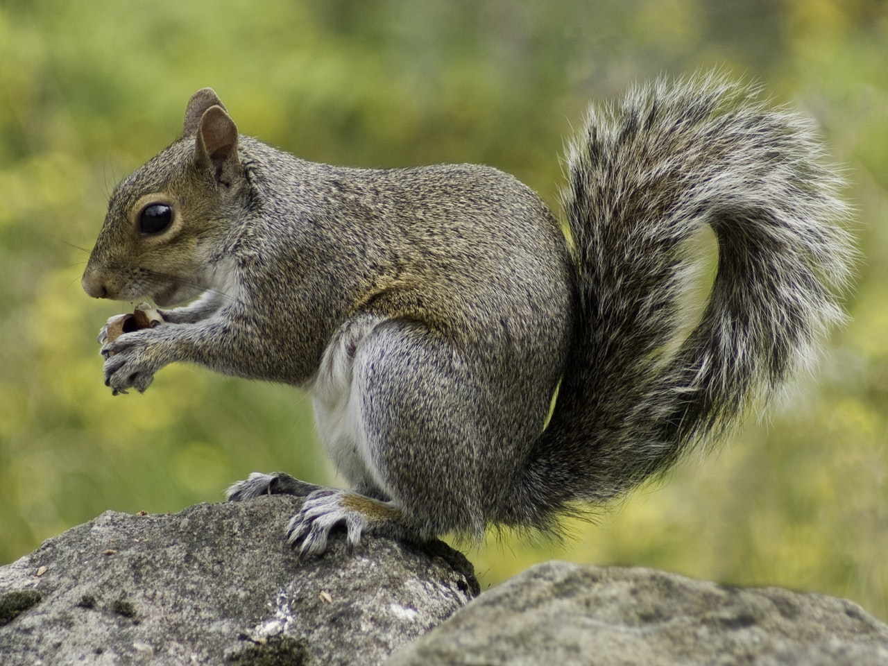 Amazing The Dangers Of Having Squirrels In Your Attic Breda Pest Beutiful Home Inspiration Ommitmahrainfo