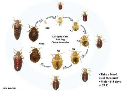 Pest Gallery Bed Bugs Breda Pest Management Breda