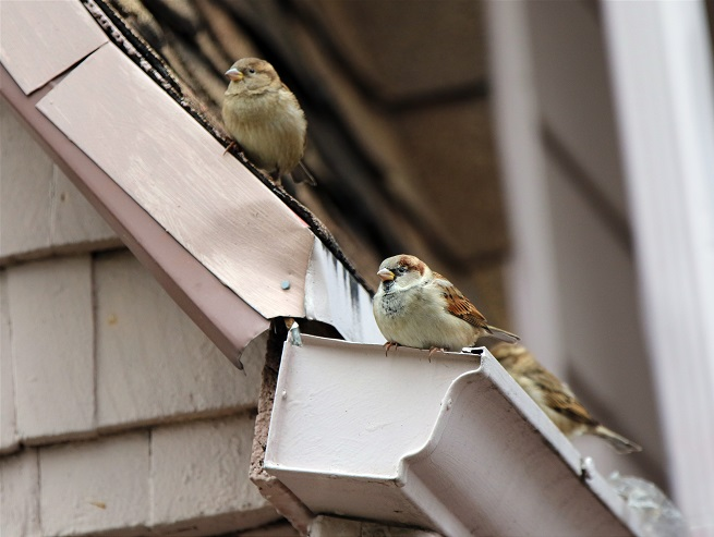 Birds on Gutters