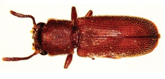 Lyctid Beetle