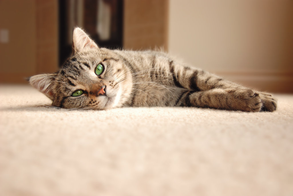 How to Remove the Pet Urine Odor from Your Carpet and Furniture